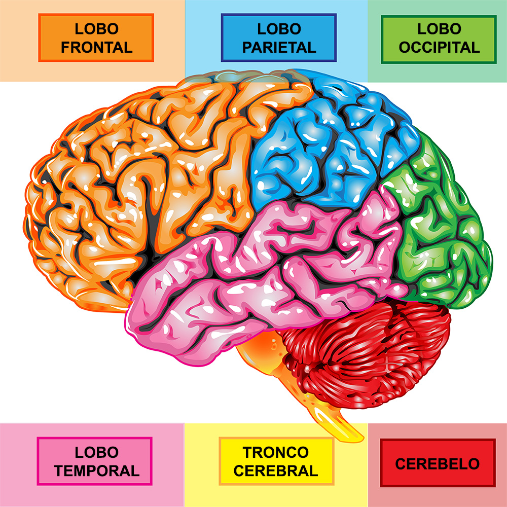 bigstock-Human-brain-lateral-view-12985748